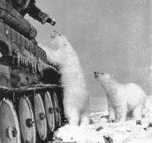 Russian soldier feeding polar bears…