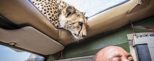 This Is A Moment That Would Make Your Heart Stop. Watch What This Cheetah Does.