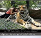 Badass facts about a tiger…#19 makes me very sad