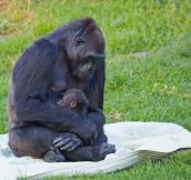A 5-Month-Old Baby Gorilla Needed Some Motherly Love. Where She Got It Is Beautiful.