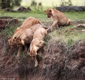 Lioness Saves her Cub Trapped on a Cliff