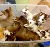 A tub of baby Huskies. Yes, I'll take all of them…