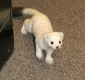 This is not a cat. This is not a ferret. This is a stoat…