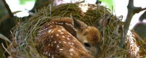 A baby deer finds warmth in a bird's nest…