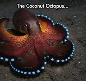 Fancy Octopus