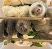 Just a Couple Of Baby Sloths