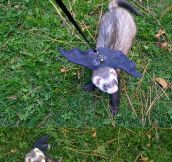 The Batferret Is a New Kind Of Pet
