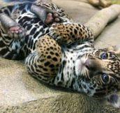 A ferocious jaguar cub…