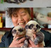 Chinese puppies imitate pandas…