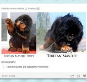 Tibetan Mastiff Evolution