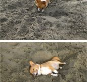Corgi at the beach…