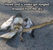 Hawk vs. Snake