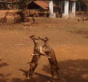 Rare kissing scene of deer caught on camera…