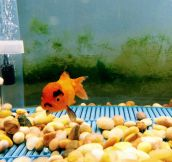 Grumpy Goldfish Gives Grumpy Cat a Run For His Money