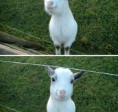 This happy goat can instantly brighten your day