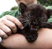 Baby panthers can be tough and cute at the same time…