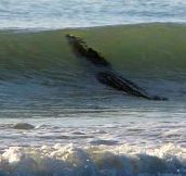 Giant Crocodile Decides To Ride Some Waves, Closes Down Australian Beach… Amazing Pictures