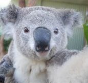 Say cheese! Koalas snap selfies at Aussie zoo…So Cute