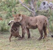 After A Lioness Killed A Baboon, This Baby Was Left All Alone. What Happened Next Is Unbelievable.