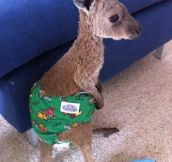 Awww…Baby kangaroo wearing a diaper after being saved from a forest fire…