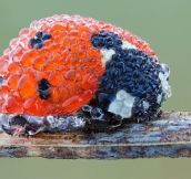 Ladybug in Morning Dew