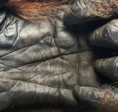 A 44 year old Orangutan hand.