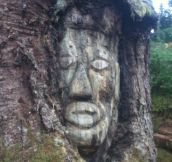 Loggers find 200 year old face carved in tree