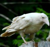 A very rare white raven (only a few are born every year)