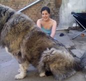 This is a Russian Bear Dog. The males reach over 200lb and have historically been used to hunt bears..