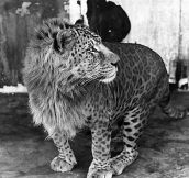 This is a Leopon (Lion and Leopard crossbreed)