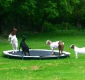"""Today I came across goats playing on a trampoline while driving around and it was the happiest thing I've ever seen…"""