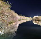 Cherry blossoms in Hirosaki Sakuramatsuri, Japan