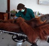 Chill-Ass Orangutan Doesn't Even Care He Got Shot In The Leg