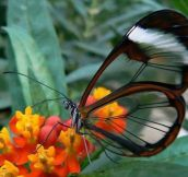 The rare and beautiful Glasswing Butterfly. Just Amazing.