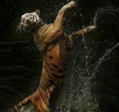 Graceful Tiger