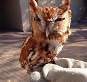 The Memphis Zoo tweeted this picture of their screech owl today