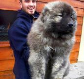 Caucasian shepherd puppies are some of the fluffiest puppies ever..