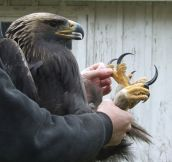 Cool perspective of how large an eagle's talons are