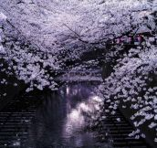 21 Absolutely Beautiful Japanese Cherry Blossom Photos Of 2014