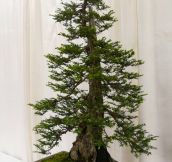 Bonsai Redwood