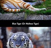 I Had No Idea There Were Blue Colored Tigers Too