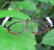 A Glasswinged Butterfly
