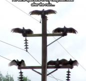 Vultures Drying Their Wings