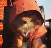 Jedi Master Pomeranian Is Watching You