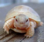 This Is What An Baby Albino Turtle Looks Like