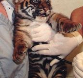 Baby Tiger Has Seen Things