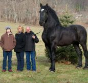 A Very Beautiful Percheron Horse