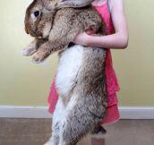 Darius The Giant Bunny