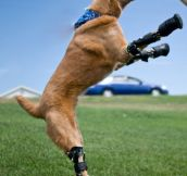 Courageous Animals With Prosthetic Limbs (7 Pics)
