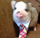 Business pig is the best pig